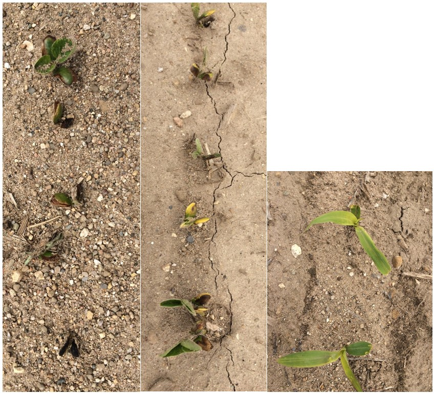 Soybean and corn that had been injured during the May 9 freeze