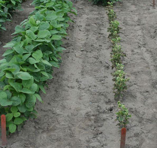 PLH soybean damage