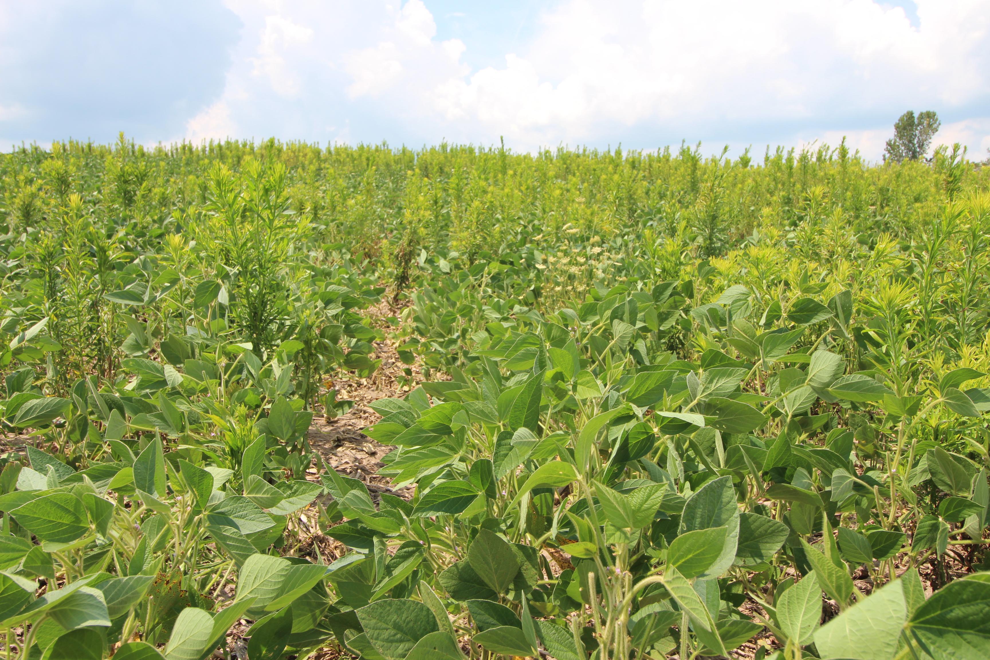 Marestail in soybean