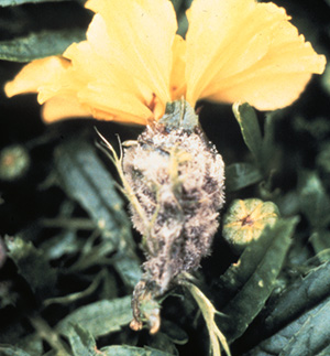 1A_marigold Botrytis UPDATED