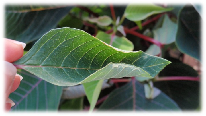 poinsettia plant damage due to the cold