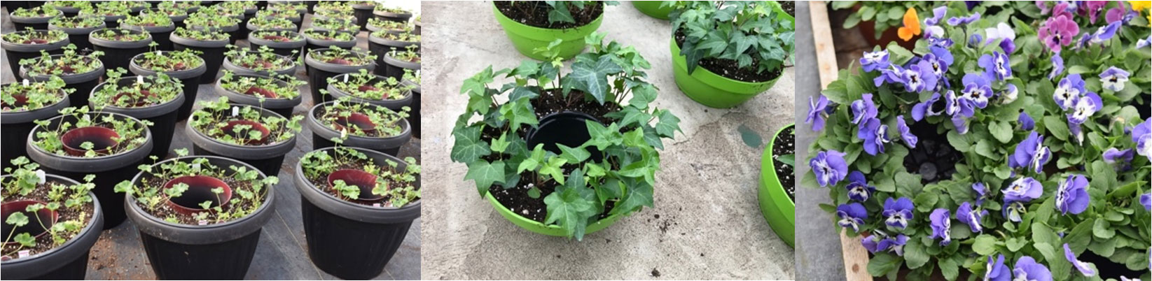 containers planted with geraniums