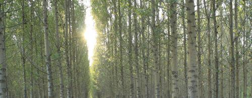 Sunlight through the trees at the Forest Biomass Innovation Center