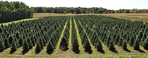 Rows of Christmas trees growing at the Tree Research Center