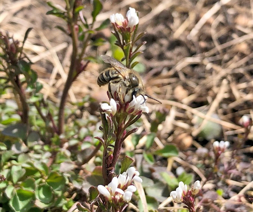 Bee foraging on hairy bittercress