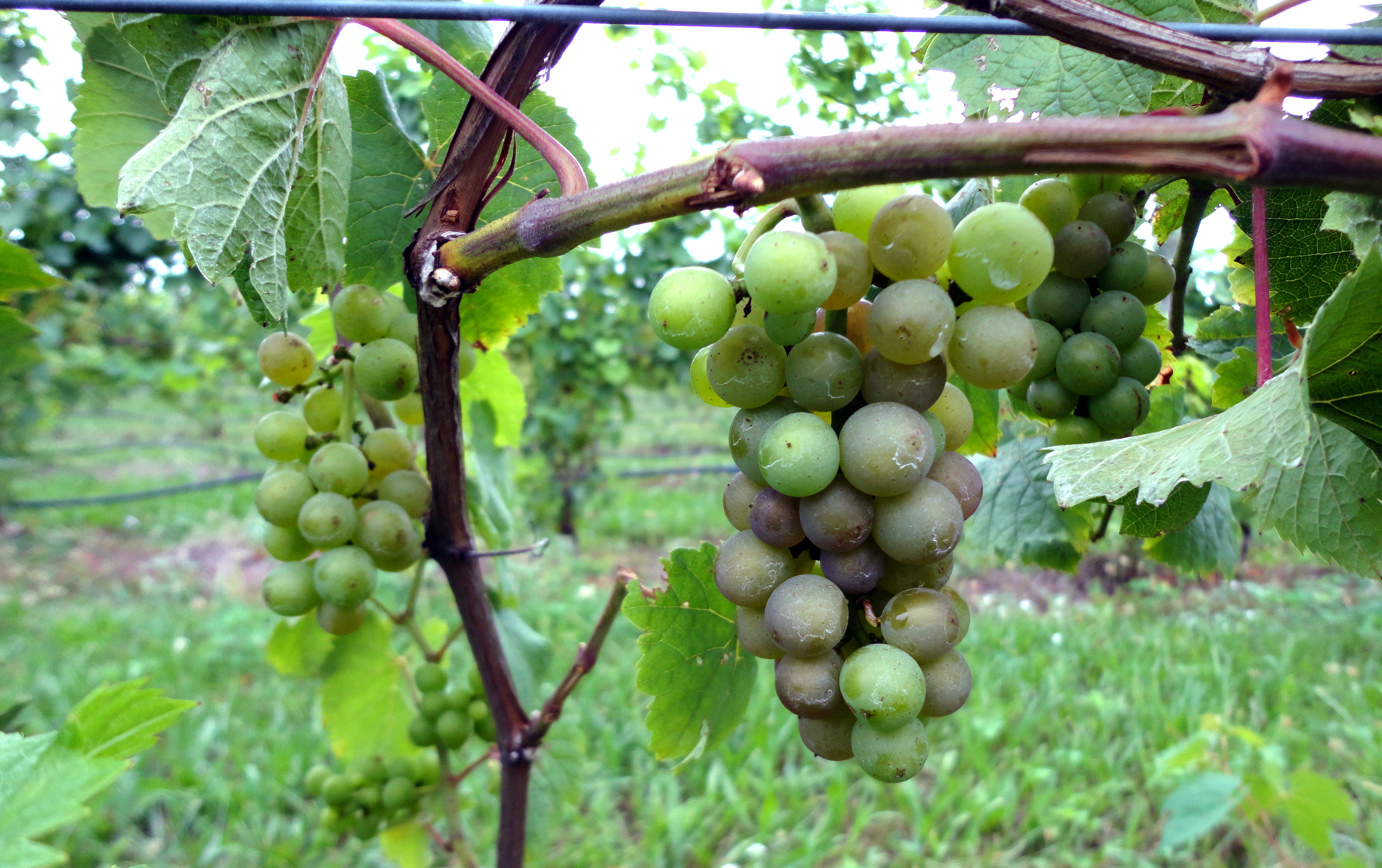 Winegrapes such as this Pinot Noir cluster near Traverse City are starting to ripen.