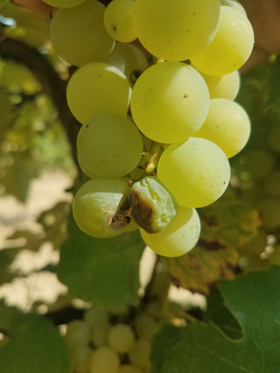 Infected Niagara grapes