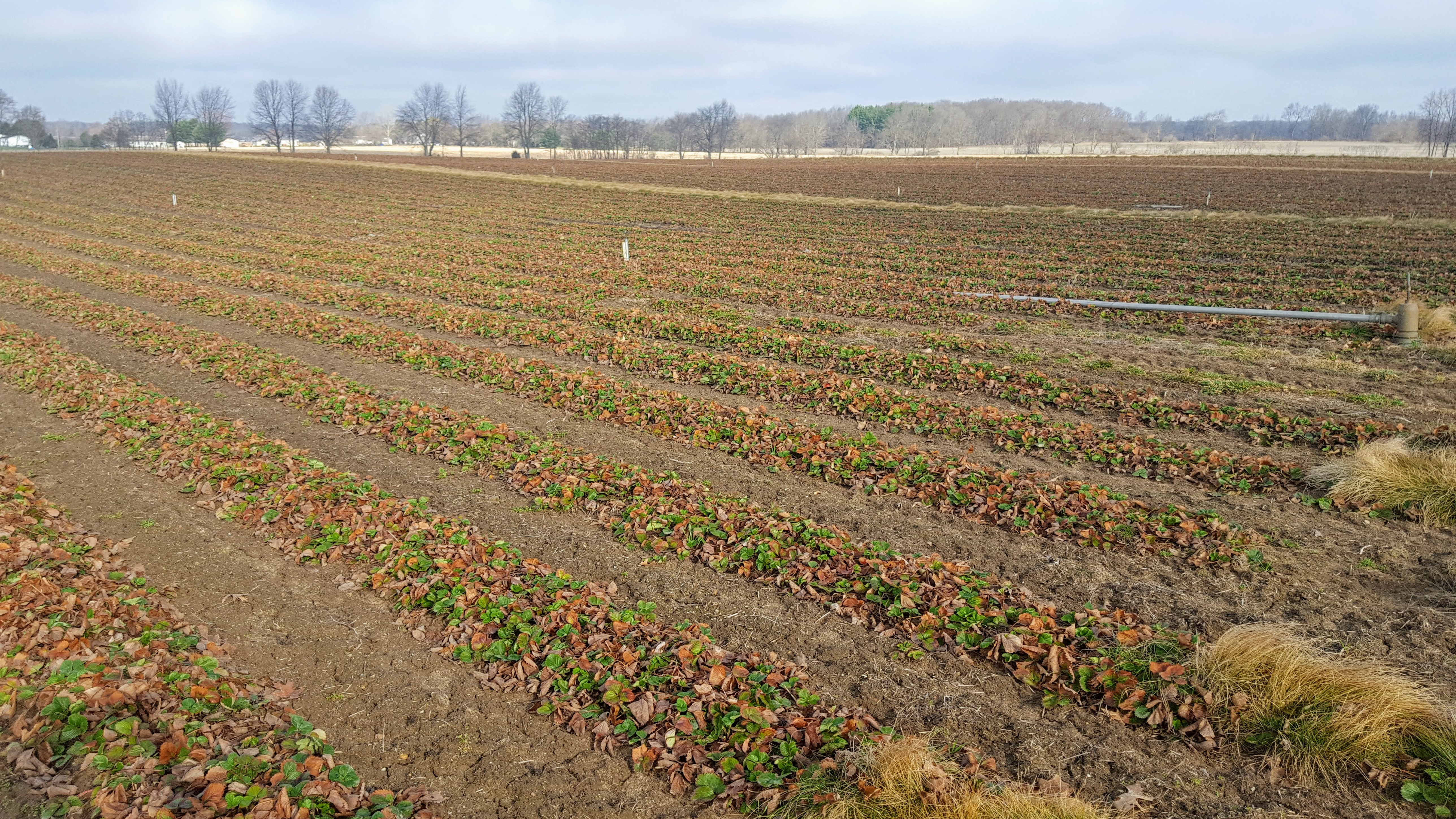 Winter damage to strawberries