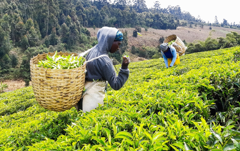 Tax Reforms Benefit Farmers and Traders: A Case of Tea Production and  Marketing in Tanzania - Feed the Future Innovation Lab for Food Security  Policy