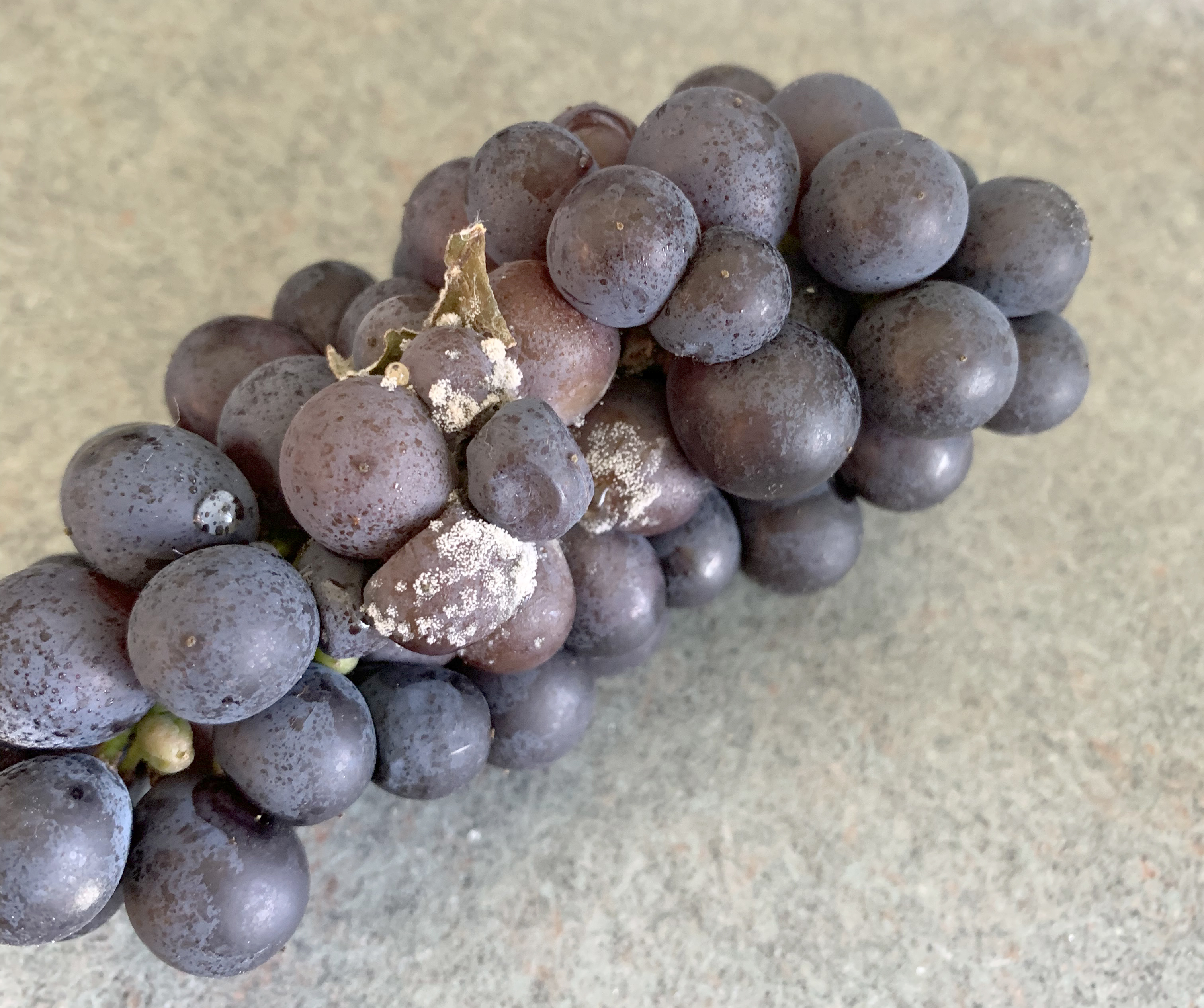 Pinot Noir cluster with Botrytis infected berries