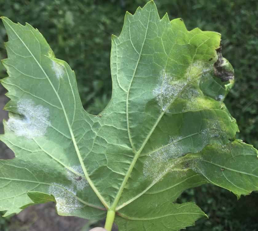 Downy leaf mildew
