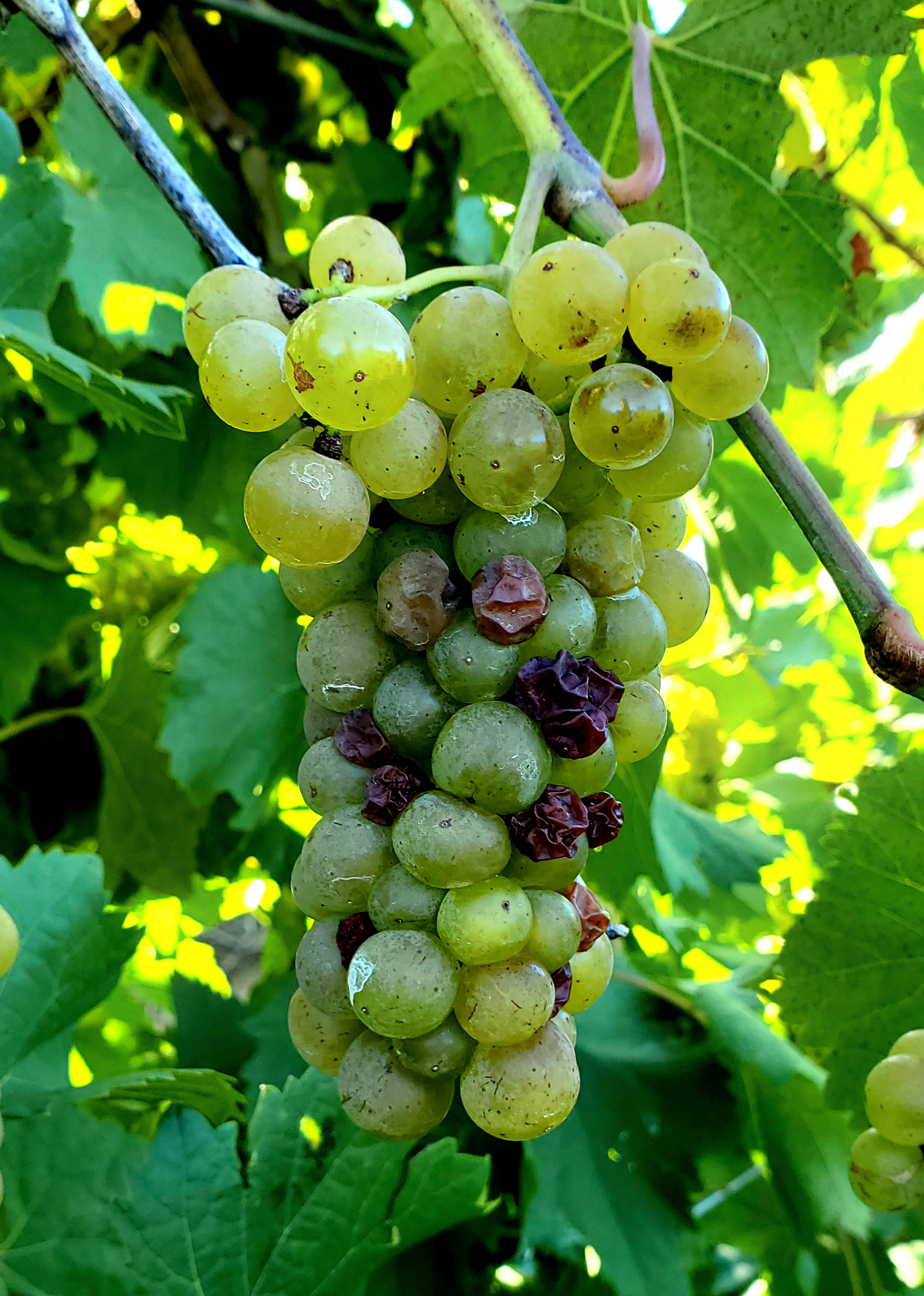 Vignoles with cluster rot