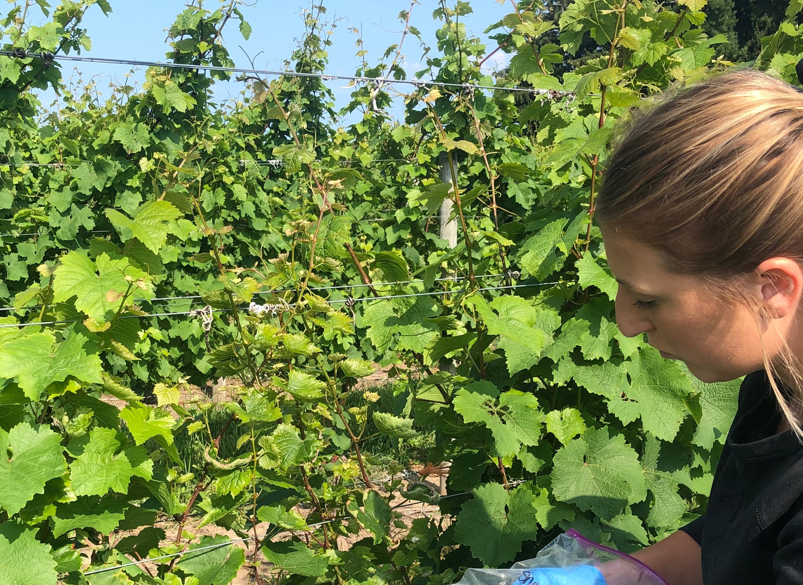 Sampling grape vines