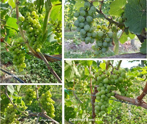 Cultivars at bunch closure