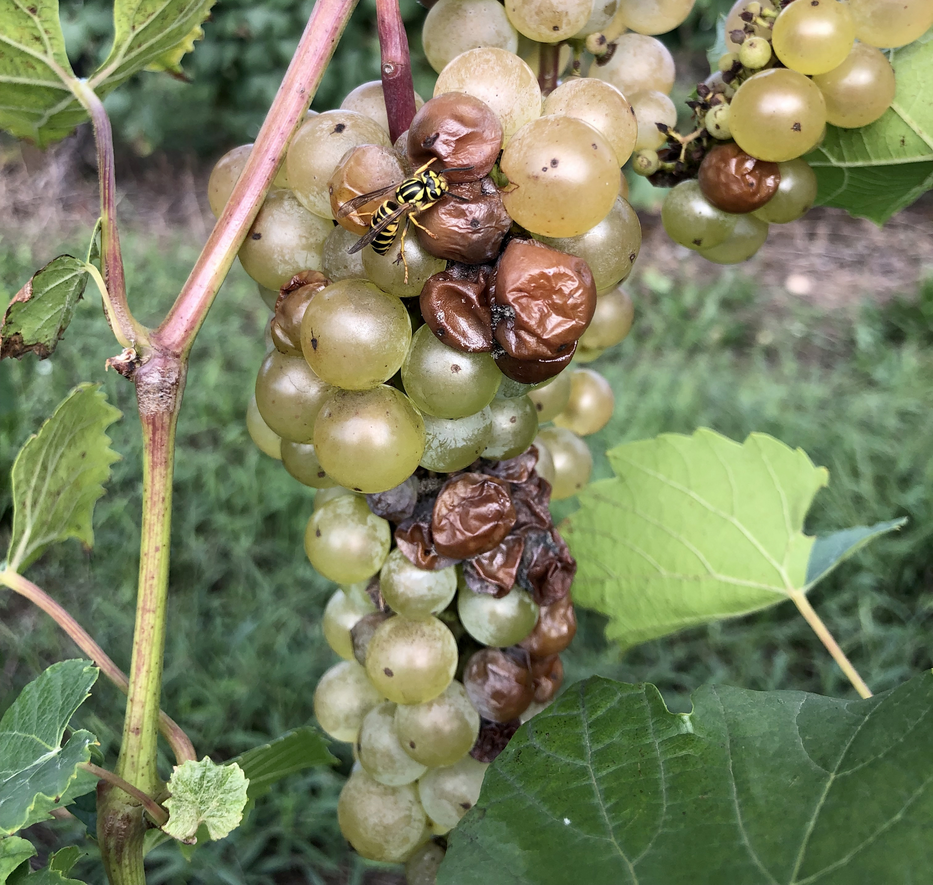 Sour rot symptoms and yellowjacket feeding