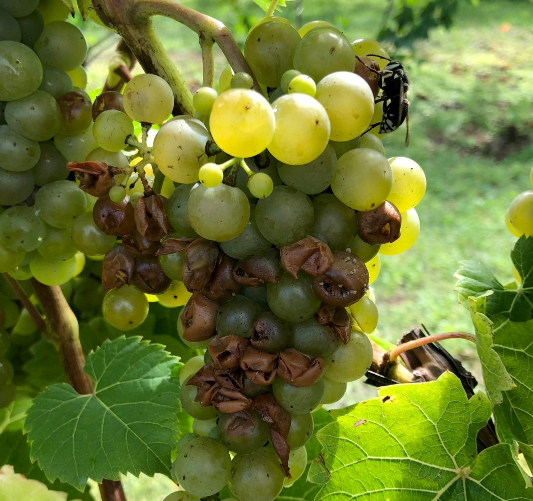 Bald-faced hornet activity on a 'Riesling' sour rot cluster