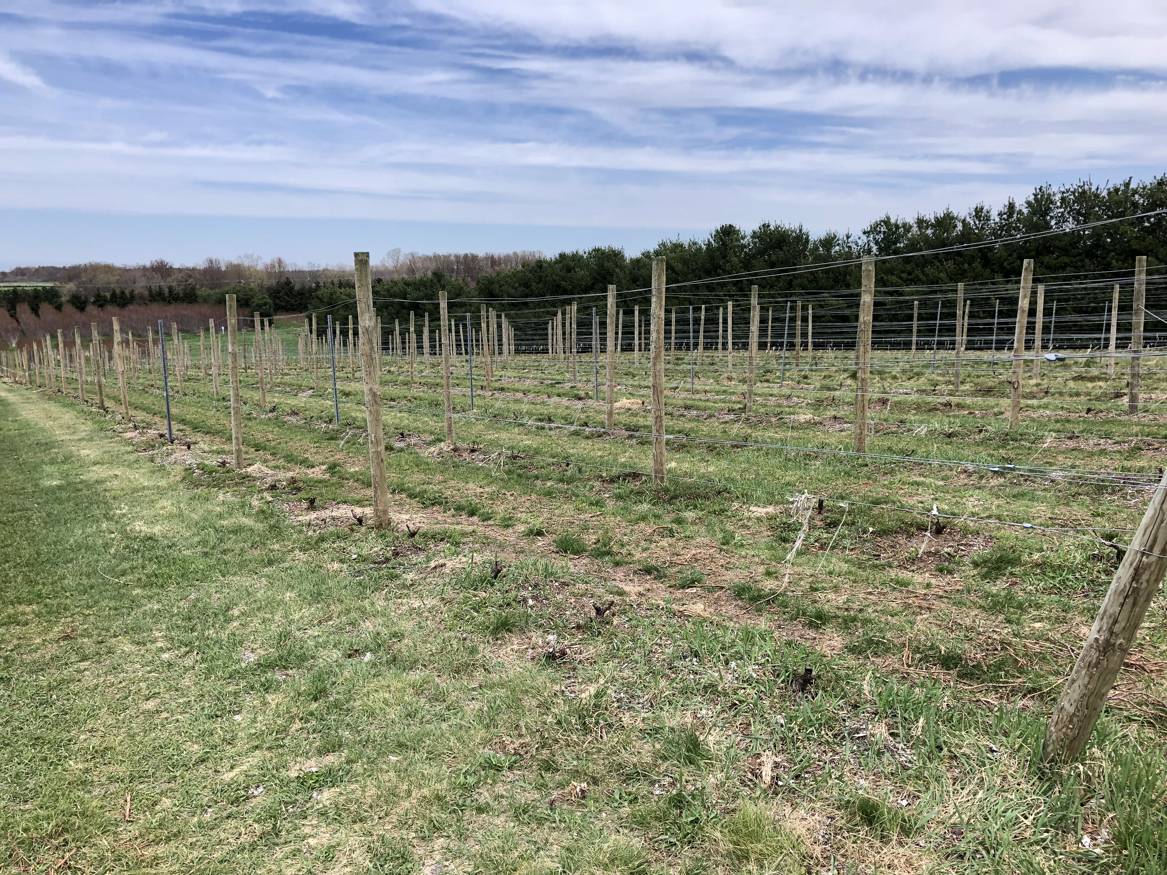 Figure 2_Cabernet franc in a Southwest Michigan vineyard damaged by 2019 Polar Vortex pruned back to living tissue at the trunk base