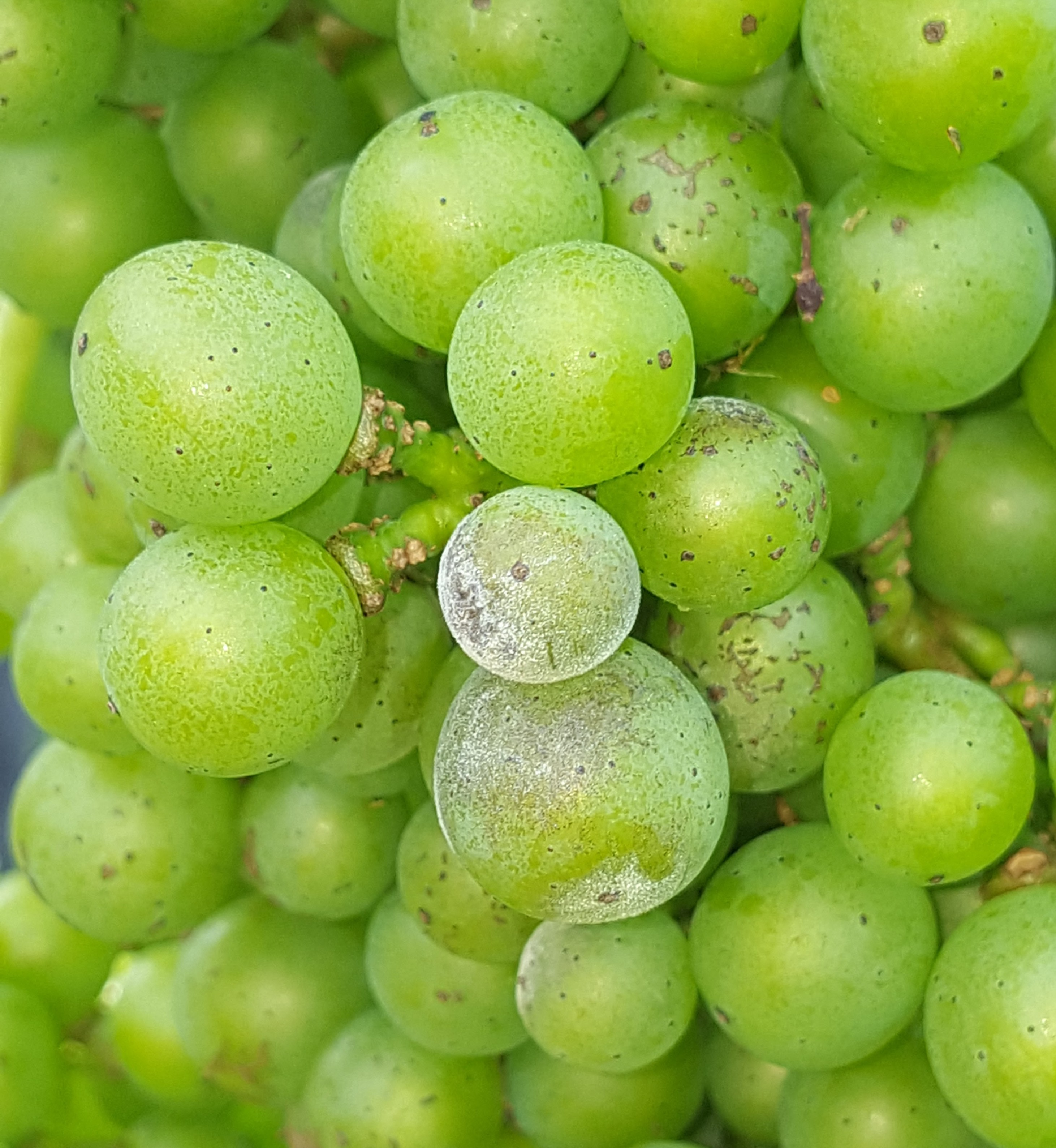 Close-up of grape powdery mildew