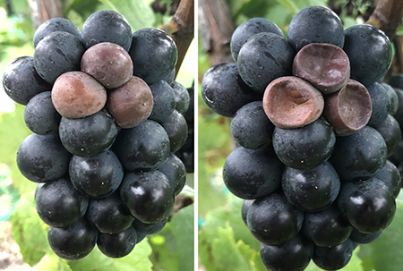 Localized cluster of Pinot Noir
