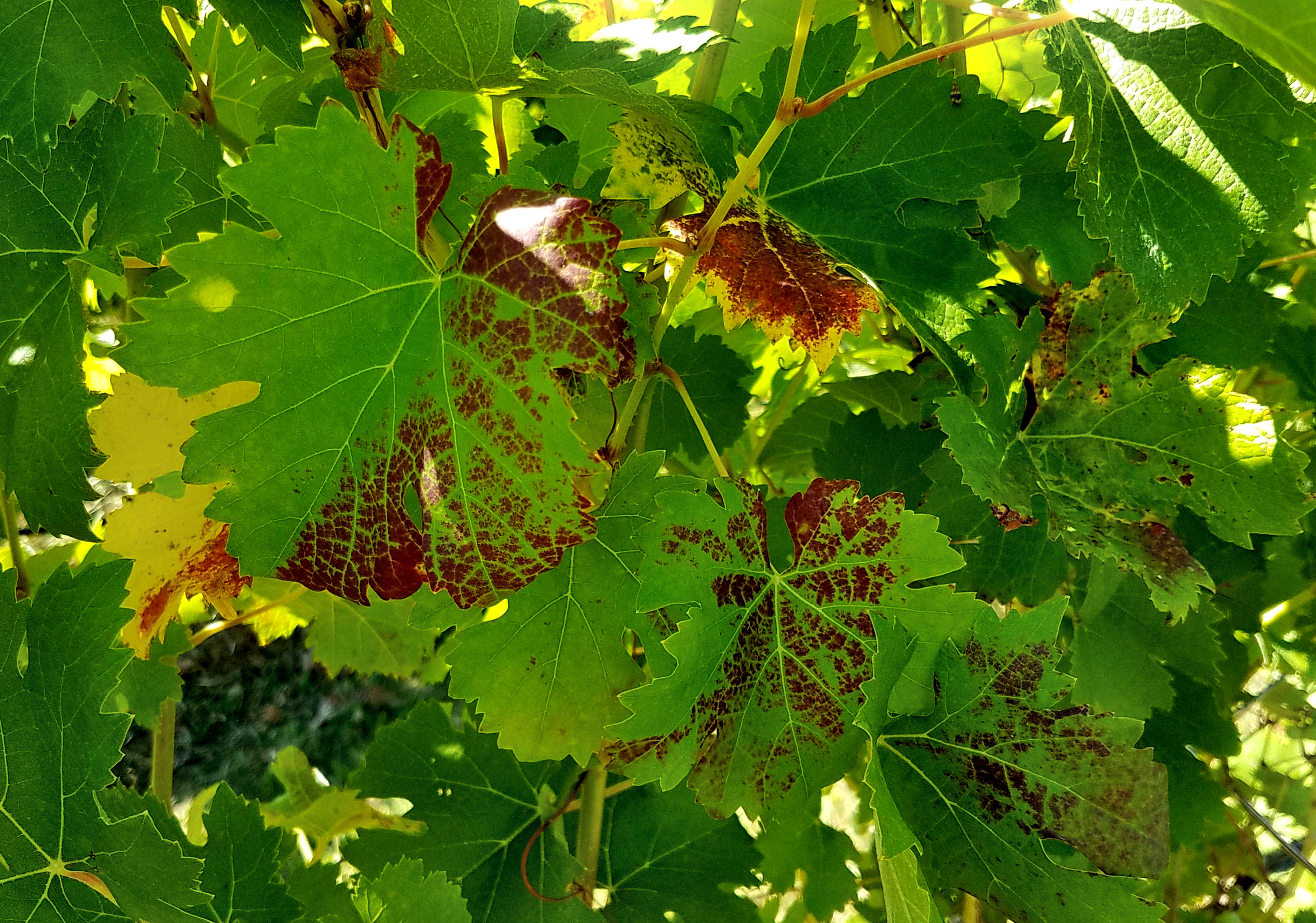 Symptoms of a grapevine leafroll virus