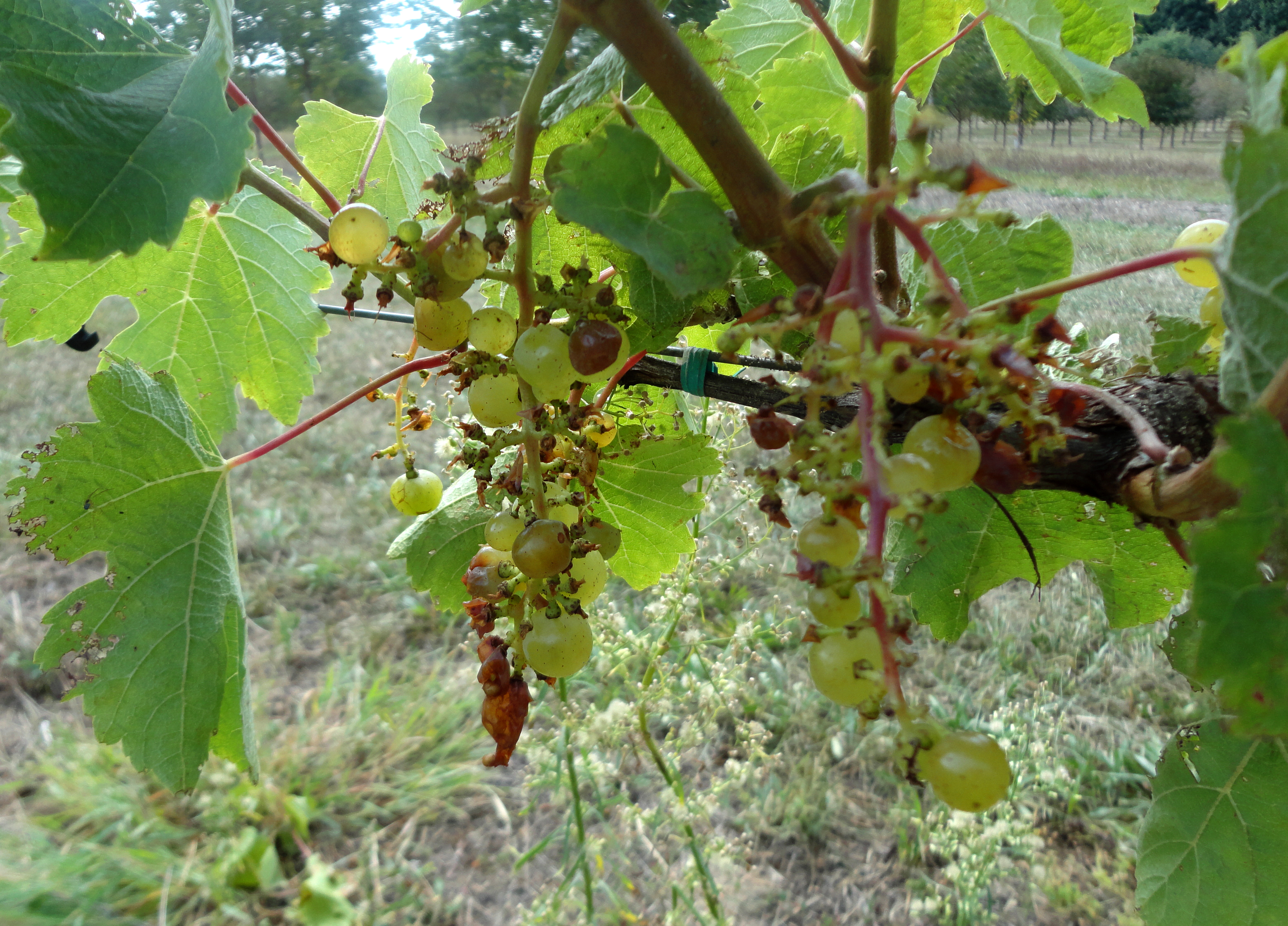 Bird damage to white grape cultivars