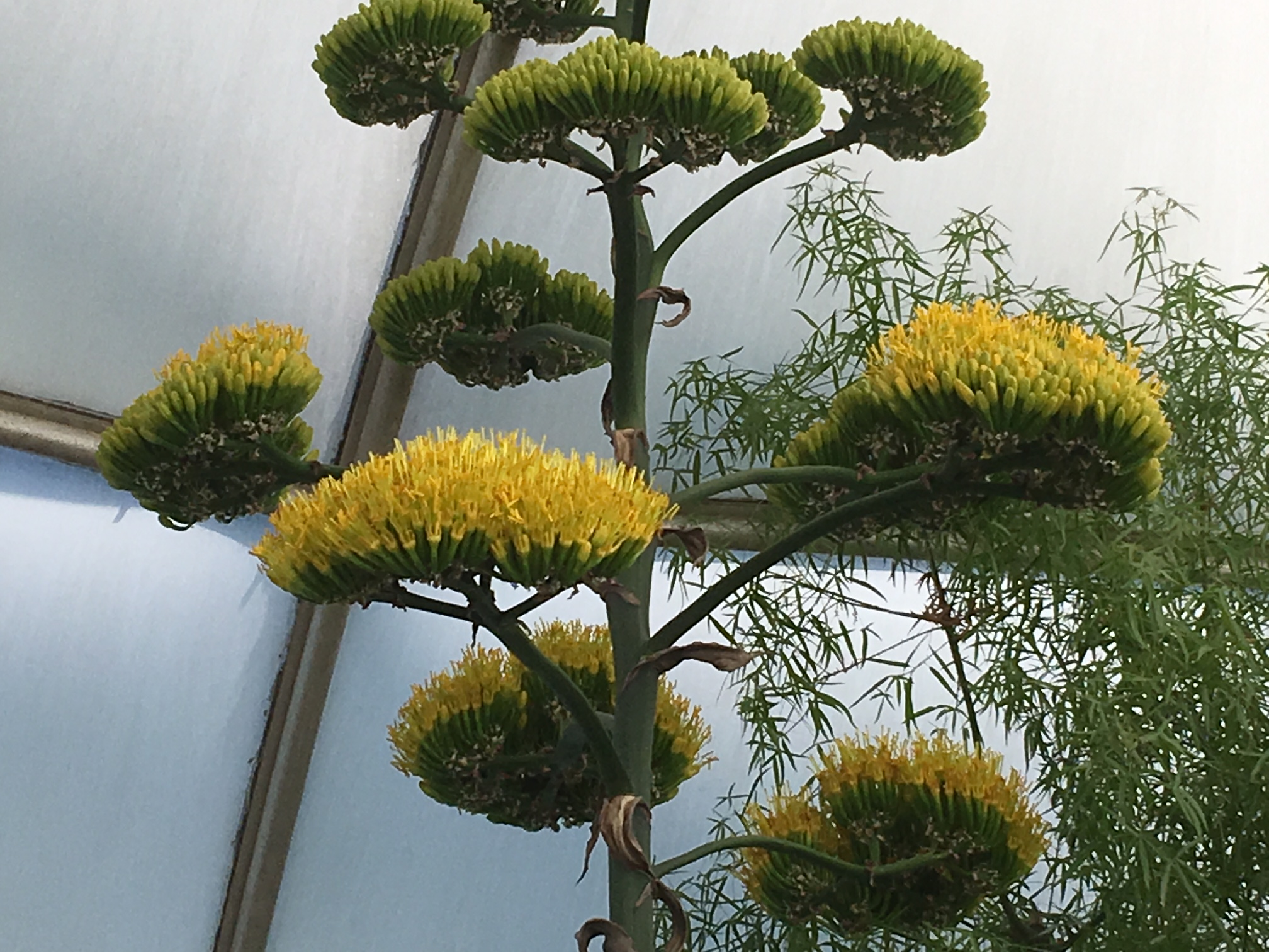 The 50 Year Old Pulque Agave, Agave Salmiana, Growing In The Arid Dome At  Hidden Lake Gardens, Is Blooming For The First   And Only   Time In Its  Life Span!