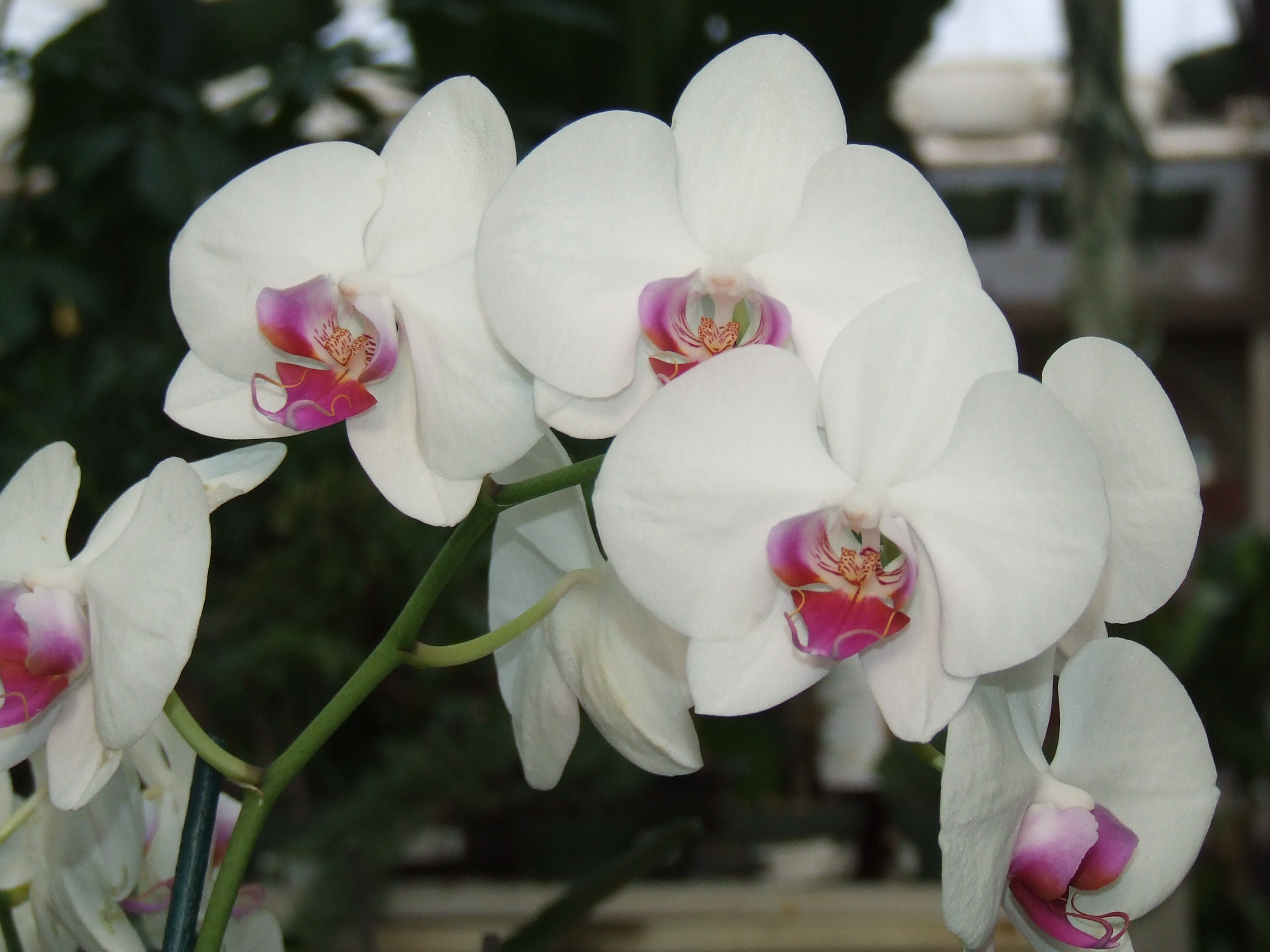 flowering spike of a Phalaenopsis