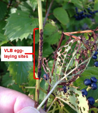 Viburnum leaf beetle egglaying sites