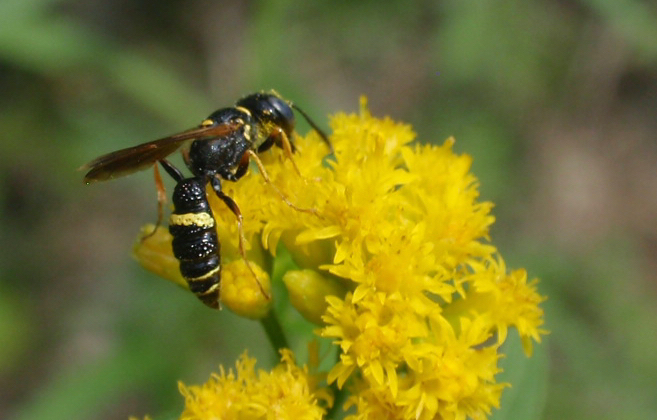 A bee wolf wasp