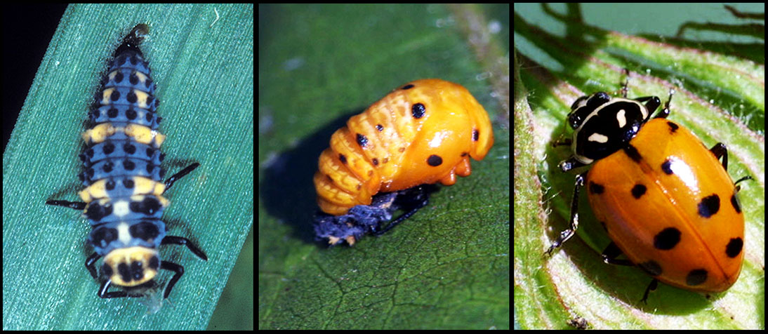 lady beetle stages
