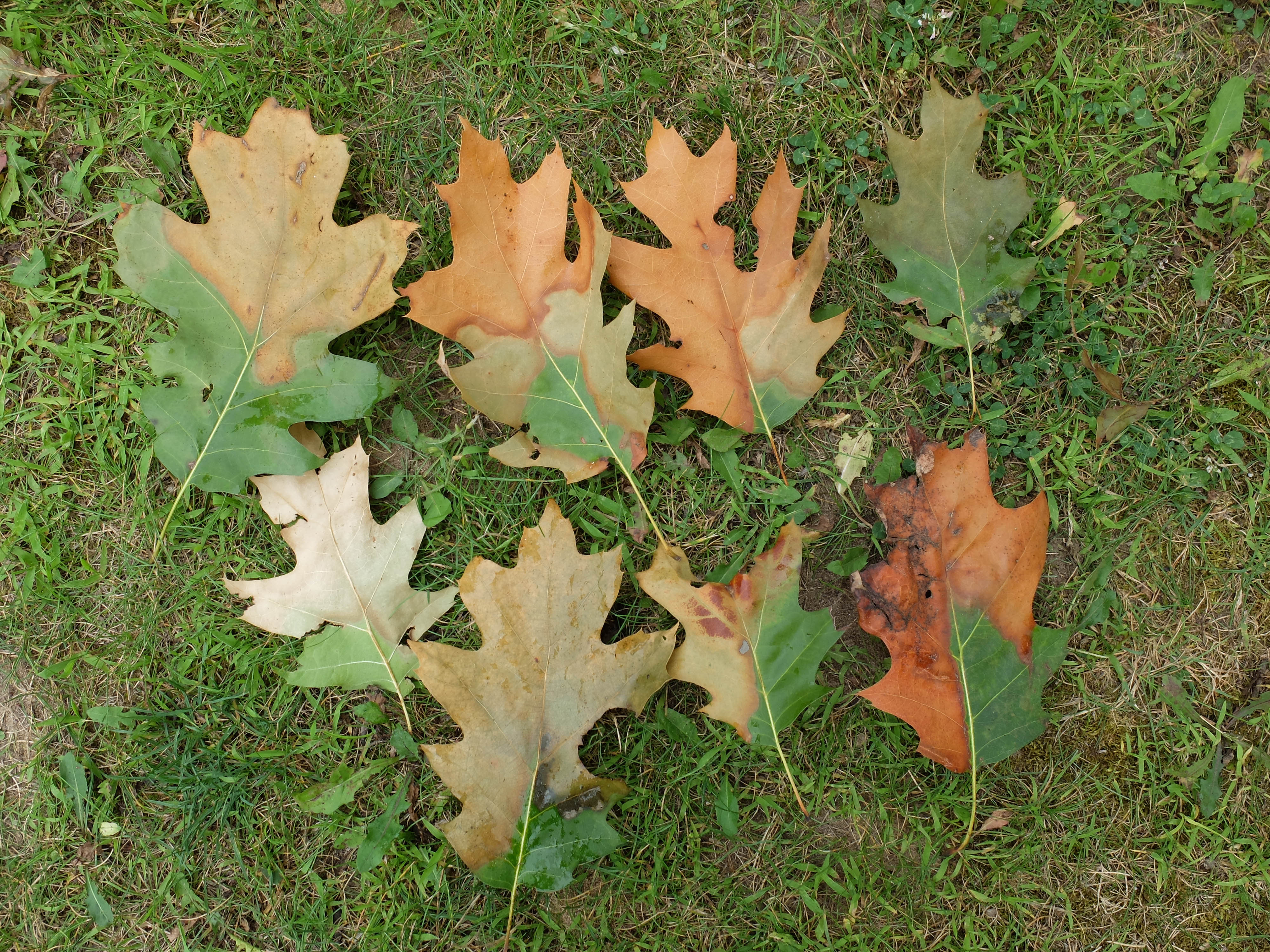 Symptomatic oak leaves