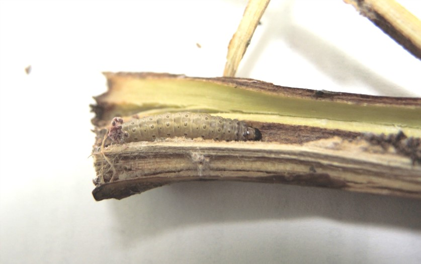 European corn borer larva in hop