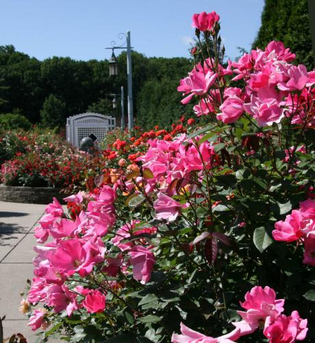 Pink roses next to a walking path