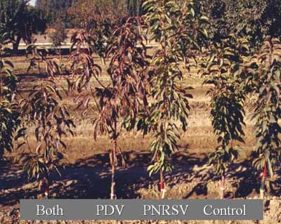 Example of a rootstock sensitive to PDV and/or PNRSV.