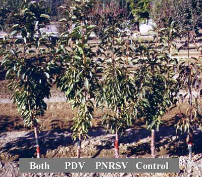 Example of a rootstock tolerant to PDV and/or PNRSV.