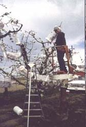 Hand pollinating cherries