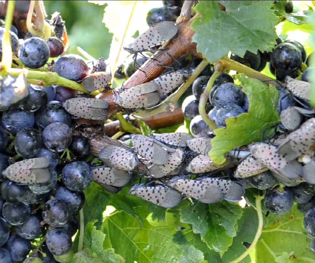 Spotted lanternfly on grapes