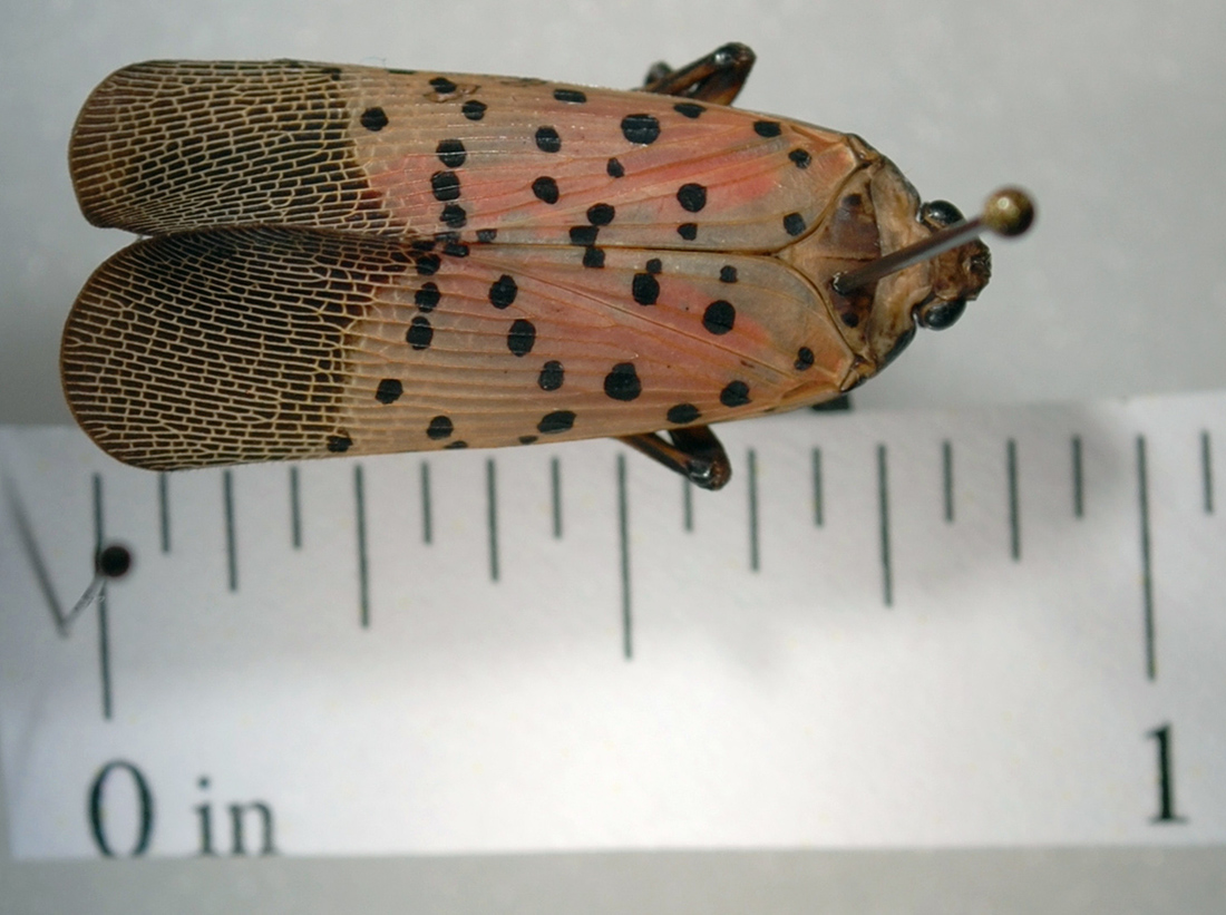 Spotted lanternfly compared to ruler