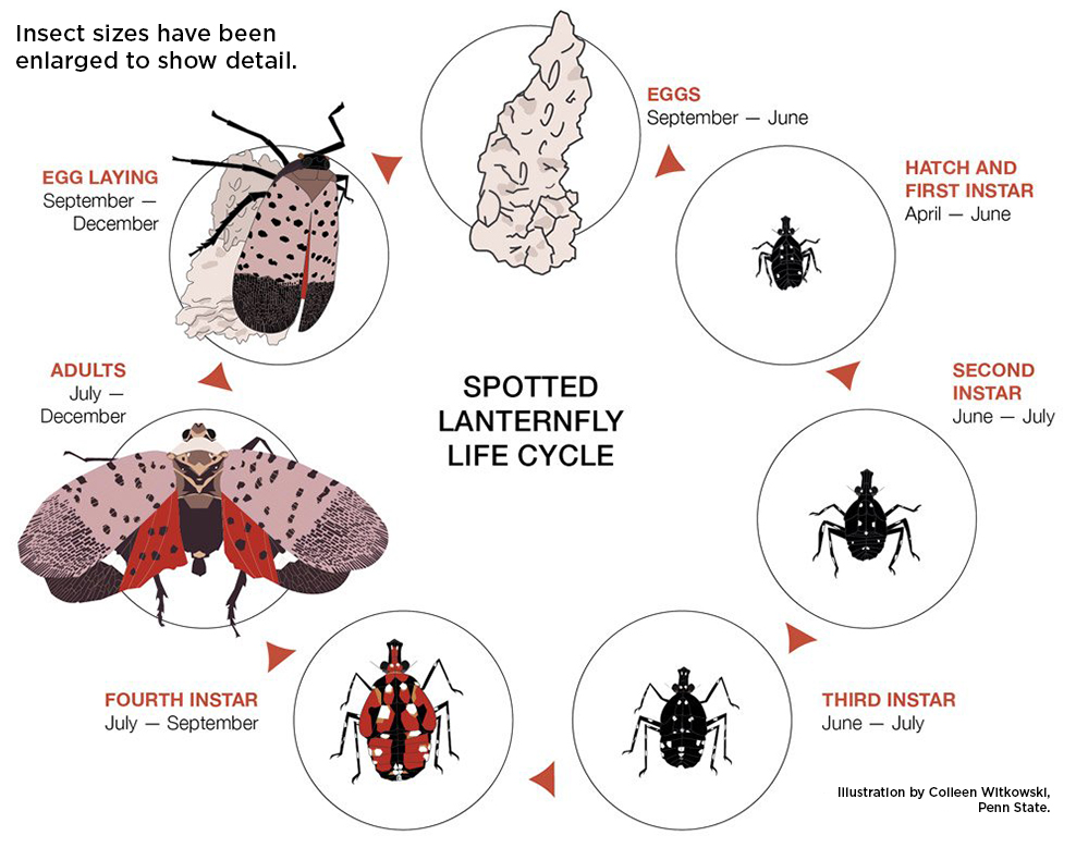 Life cycle graphic of spotted lanternfly