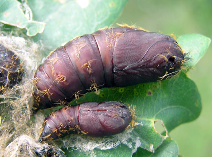 Male and female cocoons