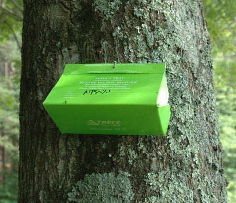 Green Delta trap on tree