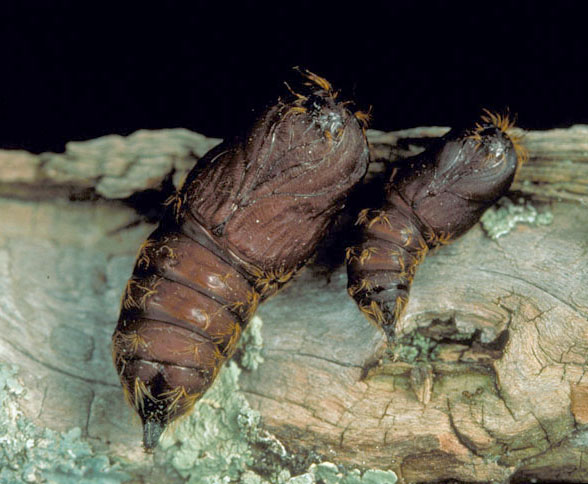 Gypsy moth pupate in reddish brown cocoons
