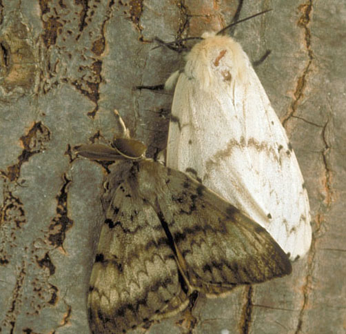 Male & female moths