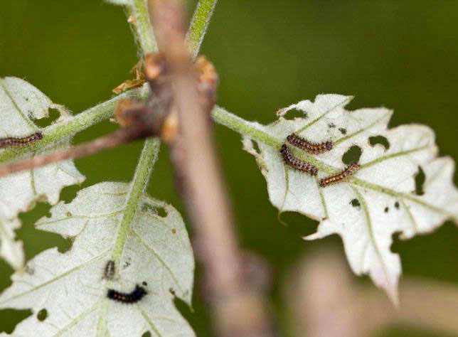 Early instars feeding on leaves