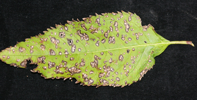 Alternaria on chelone