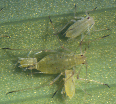 Aphids close up