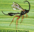 Ichneumonid wasp adult