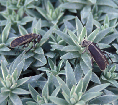 Blister beetle - Integrated Pest Management