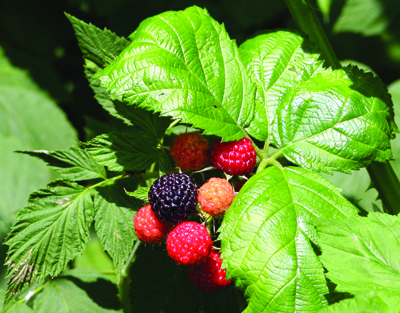 bramble new fruit