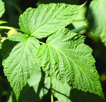 Bramble new leaf
